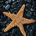 Nautical - Starfish On Black Rocks by Paul Ward