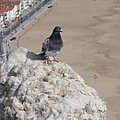 Nazare Pigeon by Kimberly Maxwell Grantier