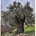 Nazareth Olive Tree by Mark Fuller