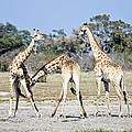 Necking Giraffes Botswana by Liz Leyden