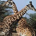 Necking Giraffes by Carl Purcell