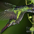 Nectar Feeding Hummingbird by Heiko Koehrer-Wagner