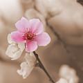 Nectarine Flower Blooming by Jaroslav Frank