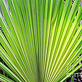 Needle Palm by Earl Johnson