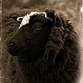Nellah The Shetland Sheep  by Catherine Ali