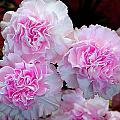 Neon Carnations by Mavis Reid Nugent