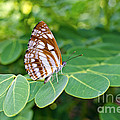 Neptis Hylas / Common Sailer Butterfly by Image World