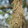 Nest Of Altamira Oriole Icterus Gularis by Anthony Mercieca