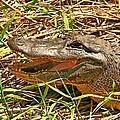 Nesting Alligator by Robert Brown