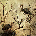 Nesting Blue Herons by Dale Kincaid