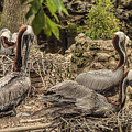 Nesting Brown Pelicans by Mark Fuge