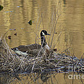 Nesting Canada Goose - Branta Canadensis by Mother Nature