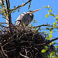Nesting Great Blue Heron by Randy Hall