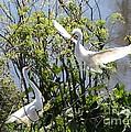 Nesting Great Egrets by Carol Groenen