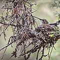 Nesting by Kim Upshaw