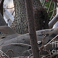 Nesting Morning Dove by Joshua Bales