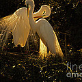 Nesting Pair Of Snowy Egrets by J L Woody Wooden