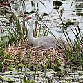 Nesting Sandhill Crane by Carol Groenen