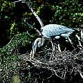 Nesting Season by Norman Johnson