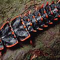 Net-winged Beetle  Borneo by Mark Moffett