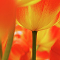 Netherlands, Macro Of Colorful Tulip by Terry Eggers
