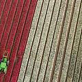 Netherlands, Tractor In Tulip Fields by Peter Adams