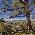 Nevada Cottonwood by Mitch Shindelbower