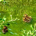New Baby Ducklings by Susan Garren