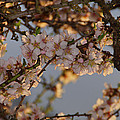 New Blossoms - Old Almond Tree by Mick Anderson