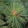 New Blue Spruce Buds by Wayne Williams