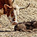 New Born Cow Calf by Brian Orlovich