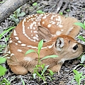 New Born Fawn by Bonfire Photography