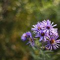 New England Asters by Scott Norris