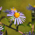 New England Asters by Susan Capuano