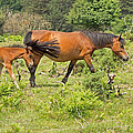 New Forest Pony And Foal by Tony Murtagh