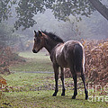 New Forest Pony by Dave Pressland FLPA