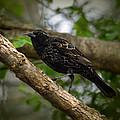 Red Winged Blackbird - New Heights - 06.04.2014 by Jai Johnson