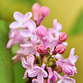 New Lilacs by Crystal Poteat