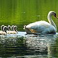 New Mute Swan Family In May by Dianne Cowen