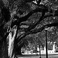 New Orleans Oaks by Susie Hoffpauir