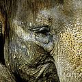 Elephant Face by Toula Mavridou-Messer