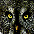 New Photographic Art Print For Sale   Great Grey Owl by Toula Mavridou-Messer