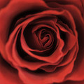Close Up Heart Of A Red Rose by Toula Mavridou-Messer