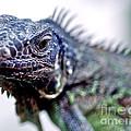 Close Up Beady Eyed Iguana by Toula Mavridou-Messer