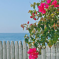 New Photographic Art Print For Sale On The Fence Montecito Bougainvillea Overlooking The Pacific by Toula Mavridou-Messer