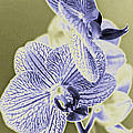 New Photographic Art Print For Sale Orchids 7 by Toula Mavridou-Messer