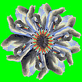 New Photographic Art Print For Sale Pop Art Swan Flower On Green by Toula Mavridou-Messer