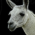 New Photographic Art Print For Sale   Portrait Of  Llama Against Black by Toula Mavridou-Messer
