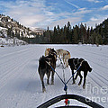 Riding Through The Colorado Snow On A Husky Pulled Sled by Toula Mavridou-Messer