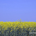 New Photographic Art Print For Sale Yellow English Fields 2 by Toula Mavridou-Messer